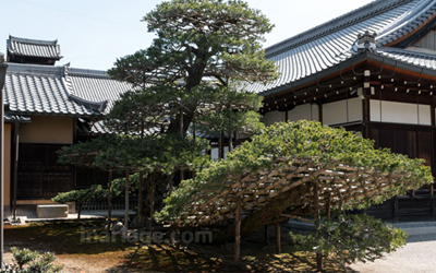 Bonsai grown up for 600 years in Golden pavilion